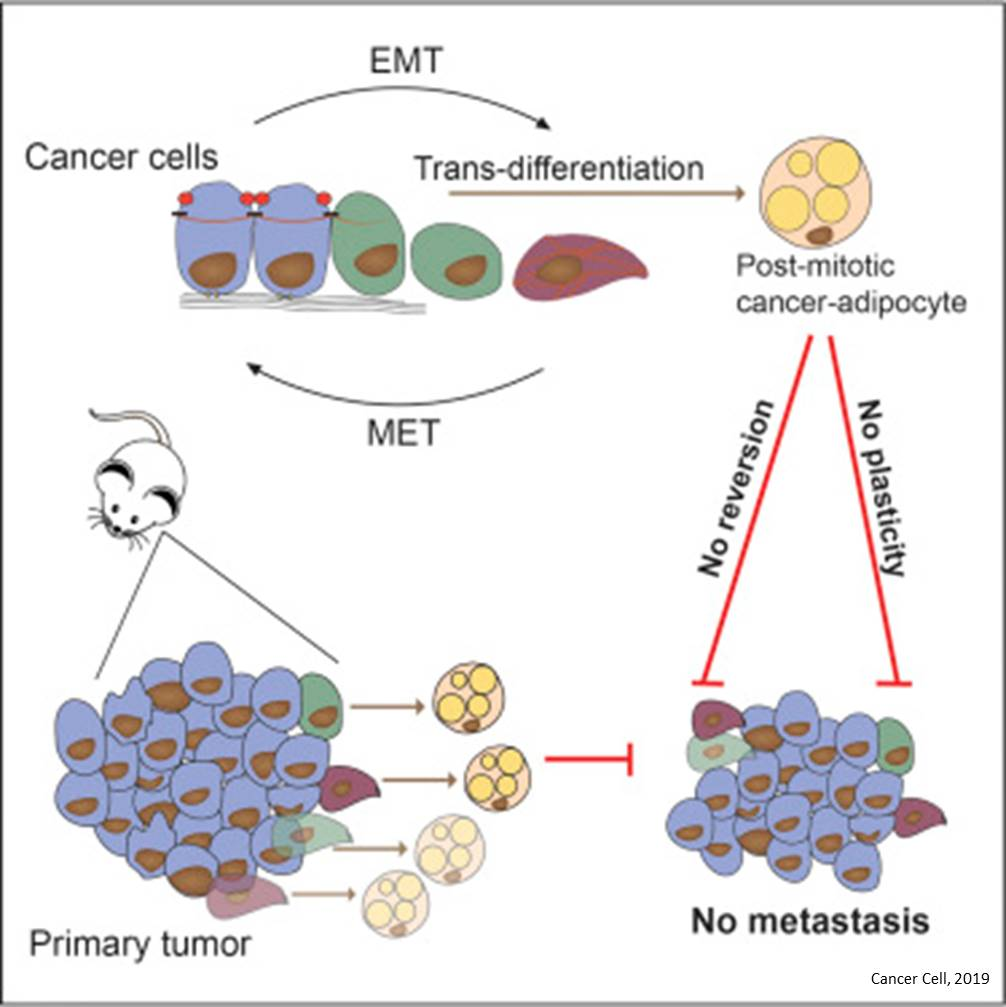 Inhibiting metastasis by converting cancer cells to fat