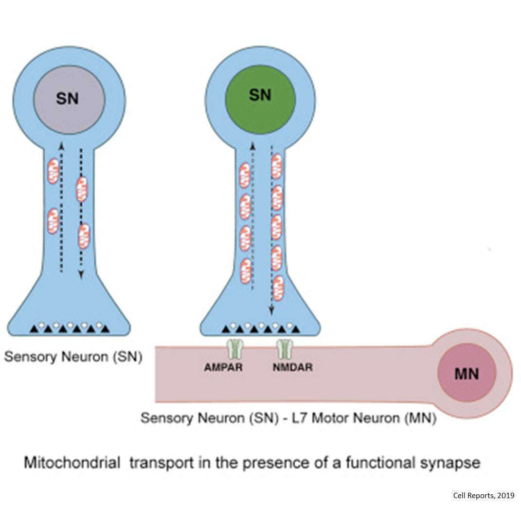 How mitochondria move?
