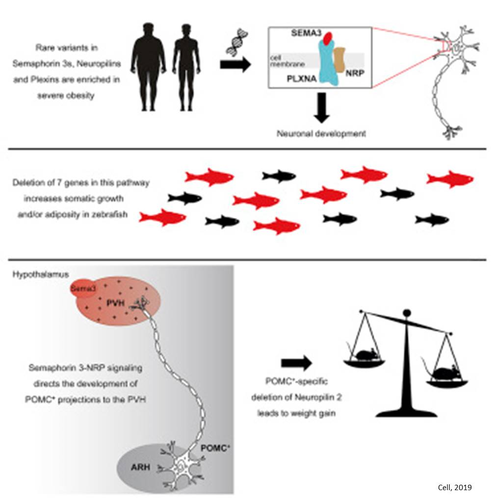 How genes involved in neural development can affect body weight