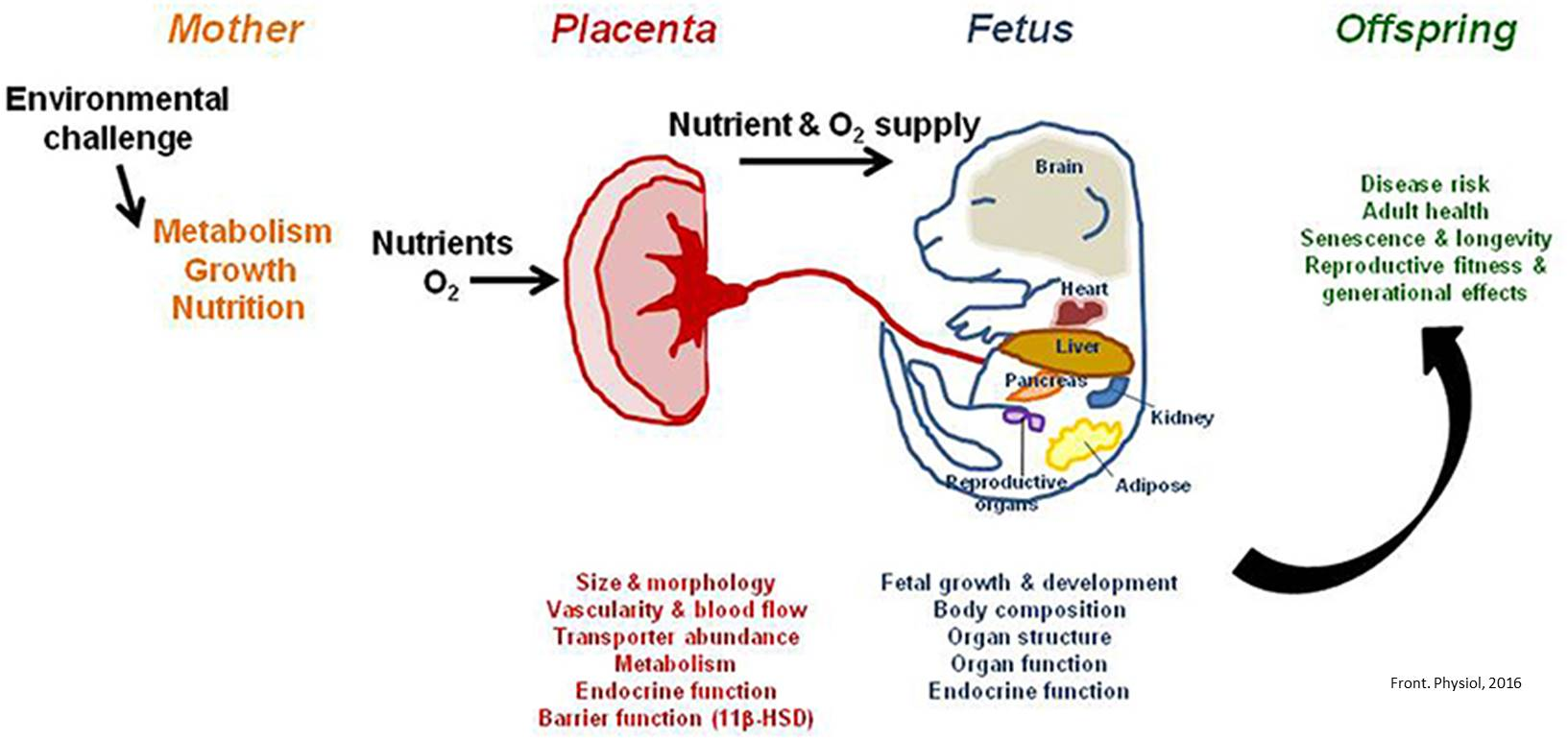 Placentas adapt when mothers have poor diets or low oxygen during pregnancy