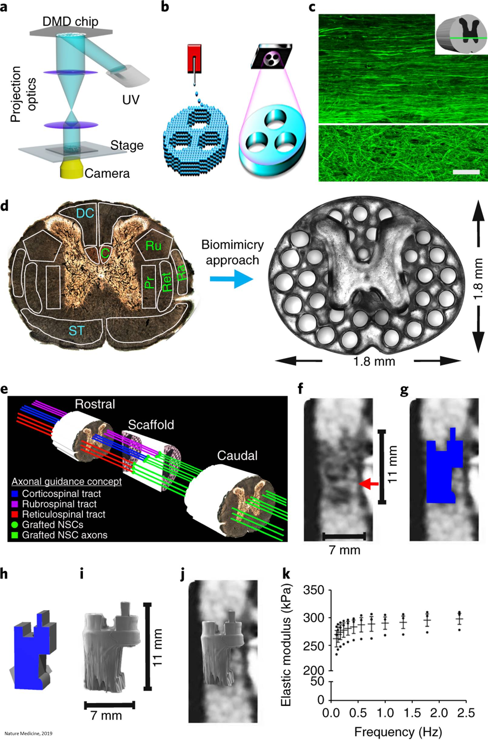 3D printed implant promotes nerve cell growth to treat spinal cord injury