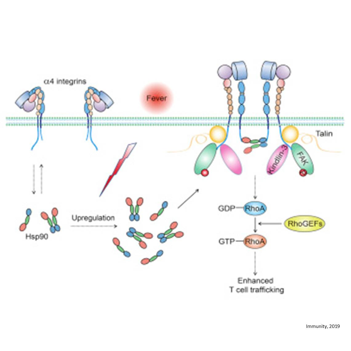 Fever activates Hsp90-integrin pathway to traffic T-lymphocytes