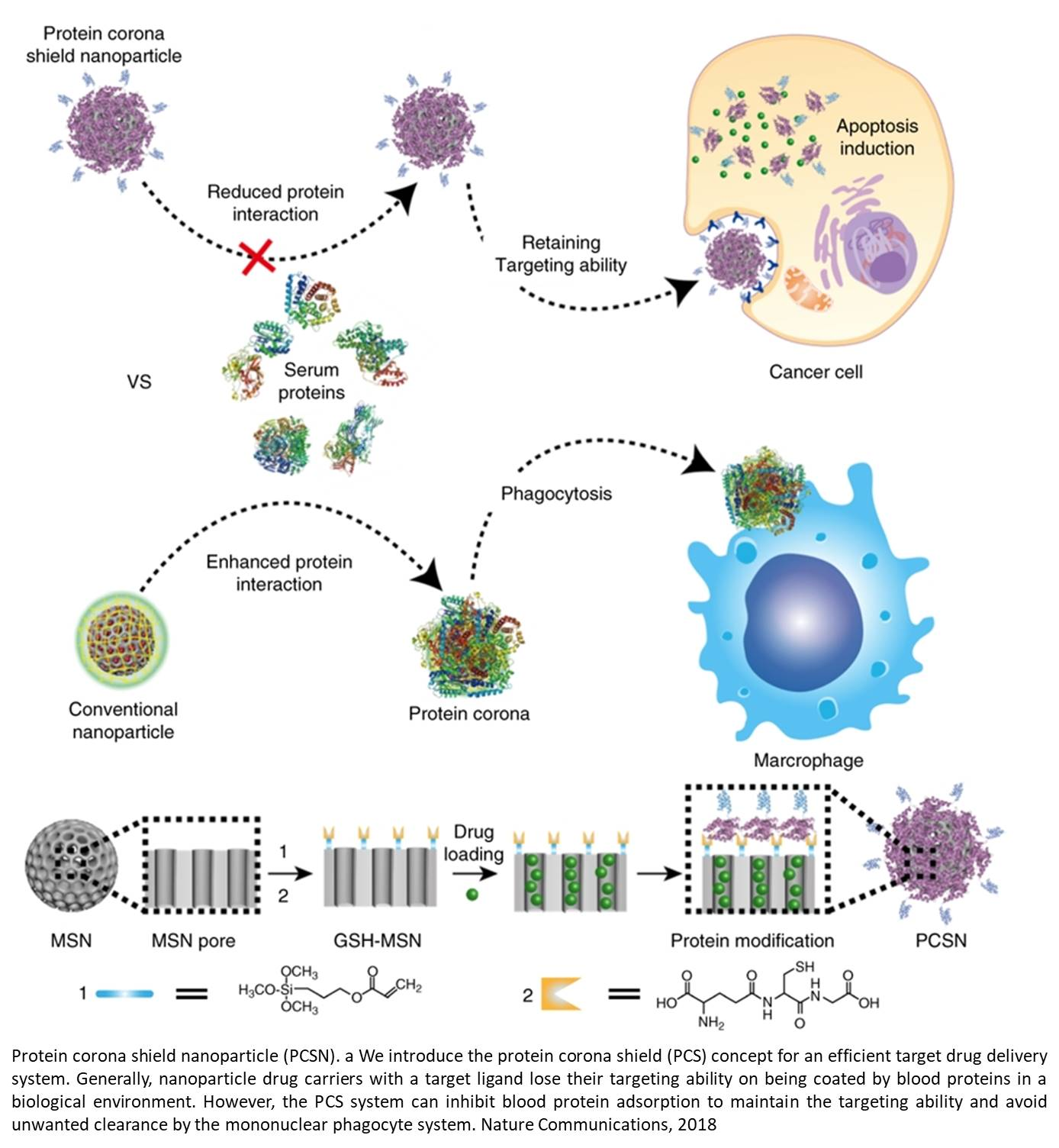 Protein corona shield (PCS) concept for an efficient target drug delivery system
