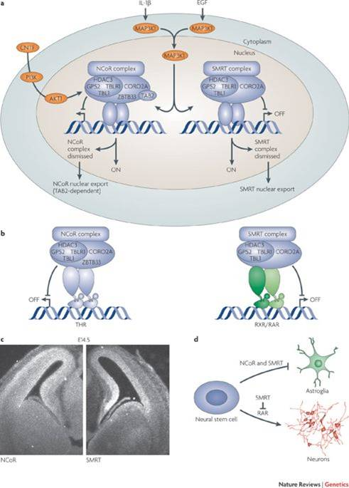 Nuclear corepressors (NCOR1/2) link the feeding and memory brain areas