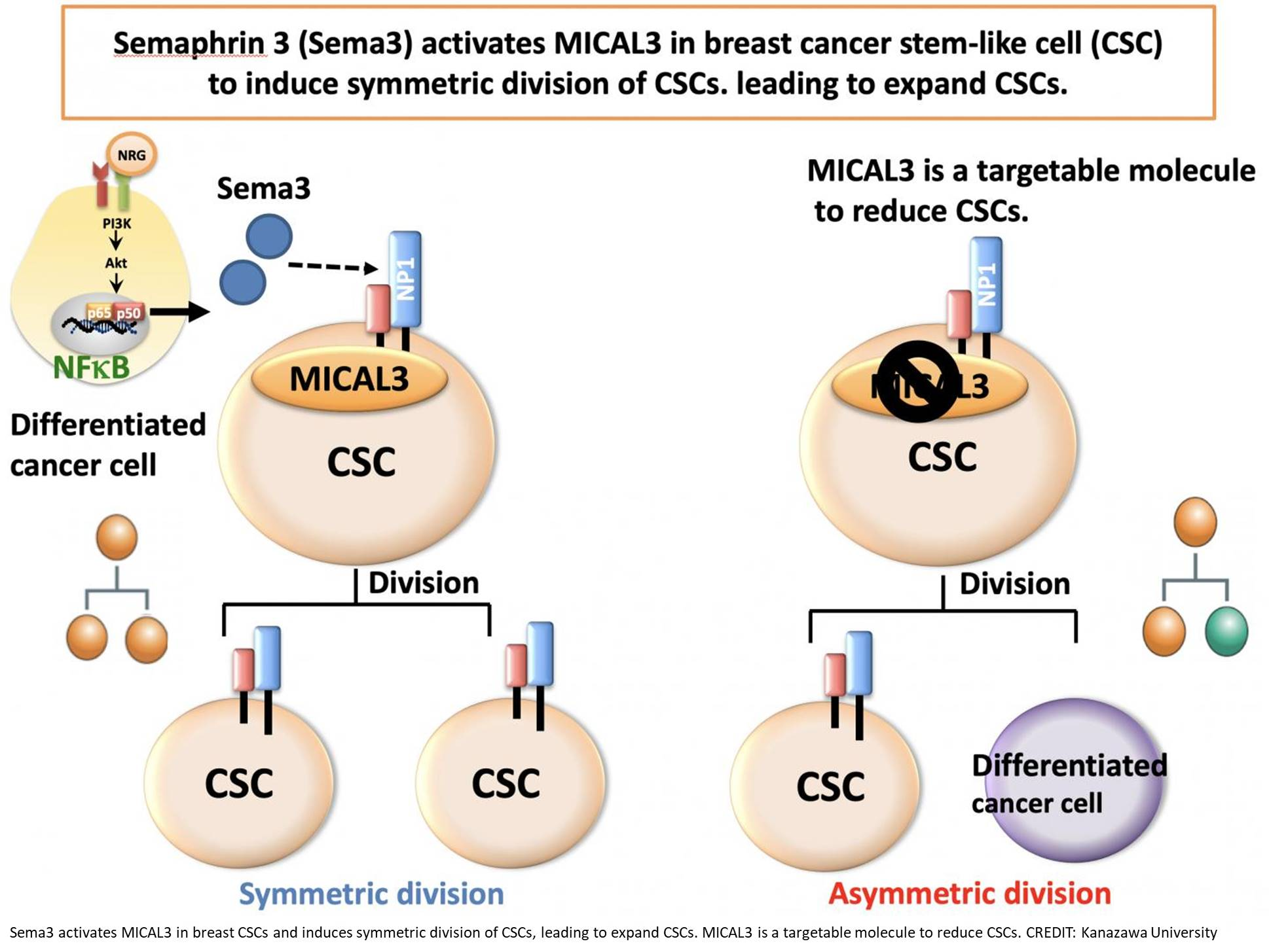 Signaling pathway in symmetric cell division of cancer stem cells in breast cancer discovered