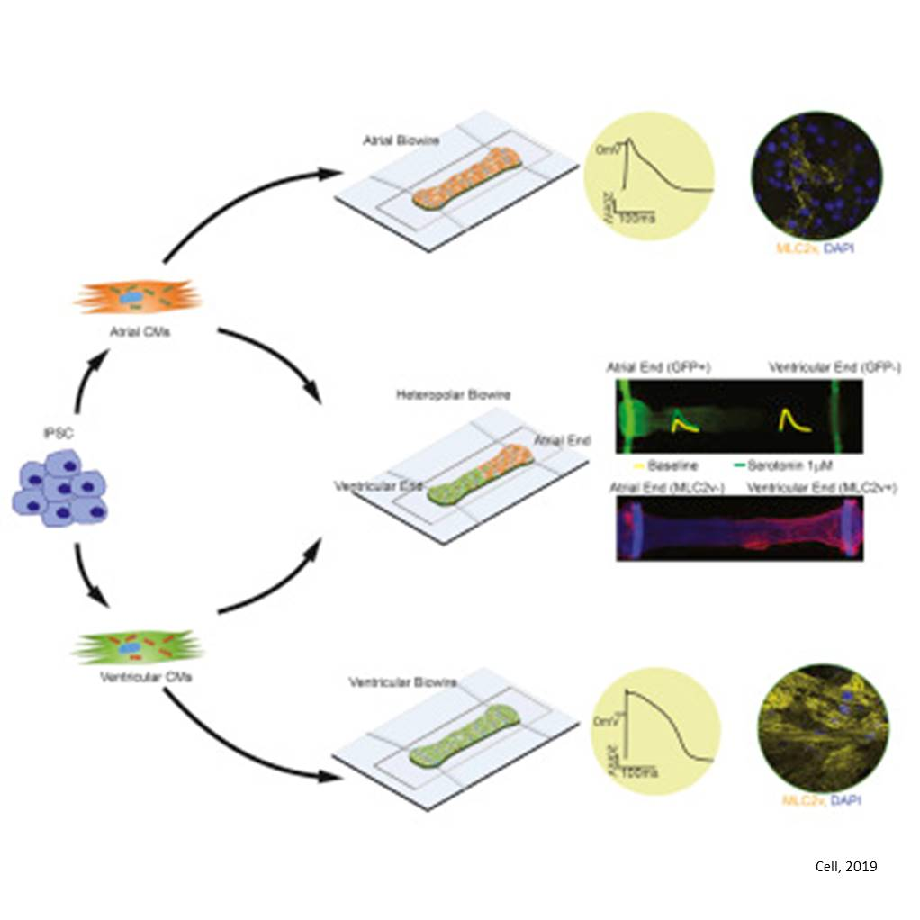 A Platform for Generation of Chamber-Specific Cardiac Tissues and Disease Modeling