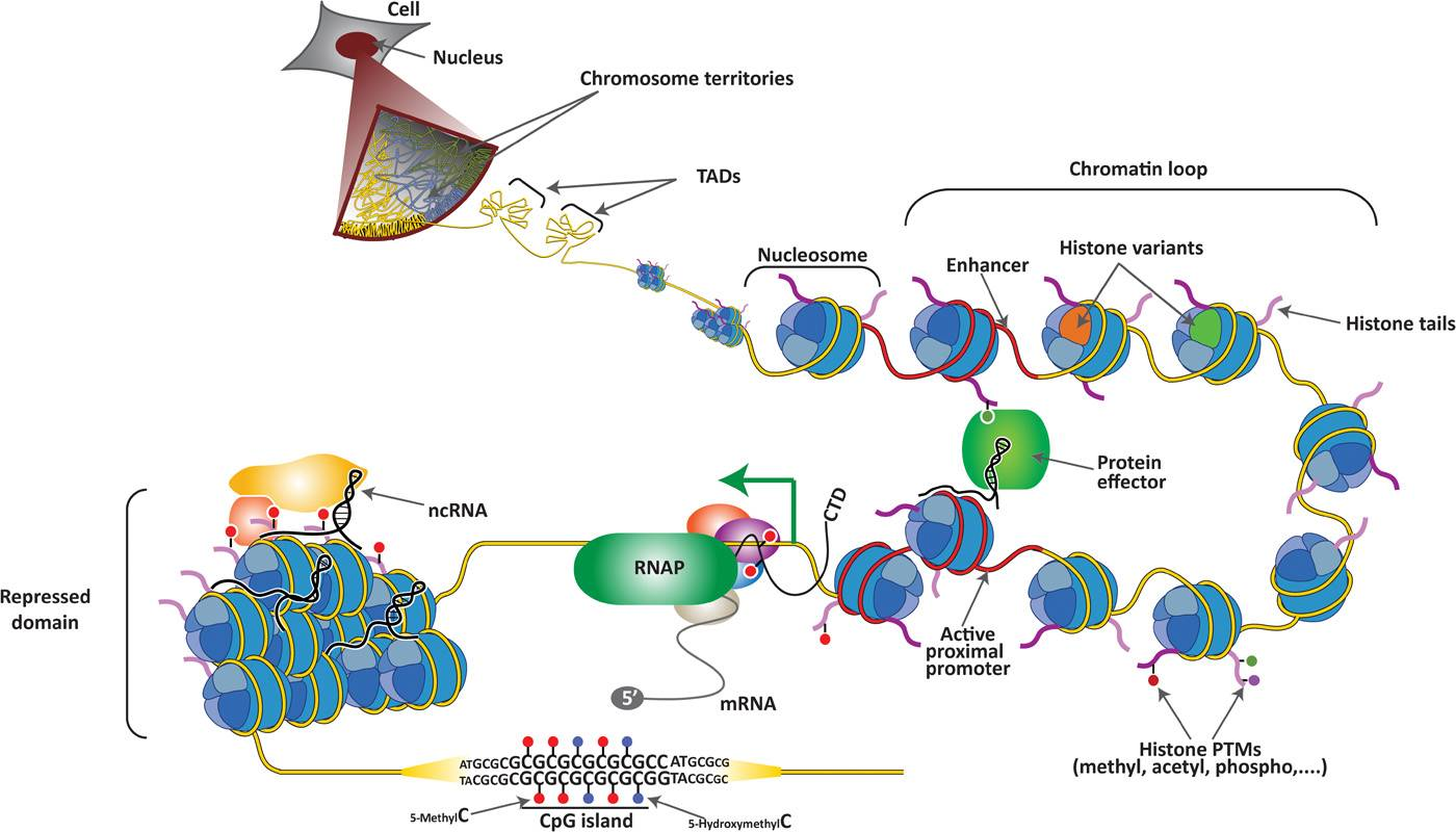 A mutation in a single gene drive epigenetic, transcriptional, and structural changes within chromatin domains