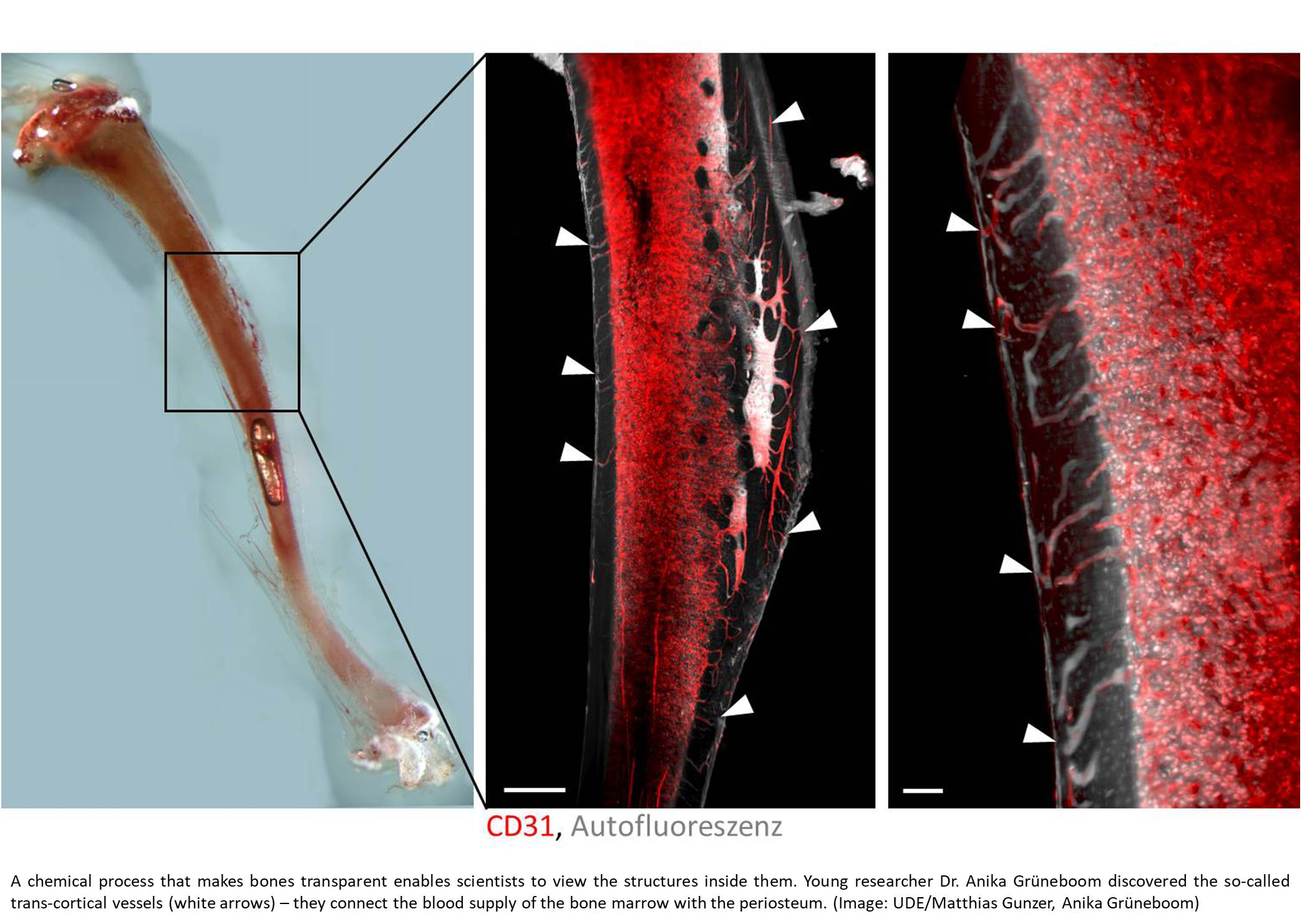 Blood vessel system in bones discovered!