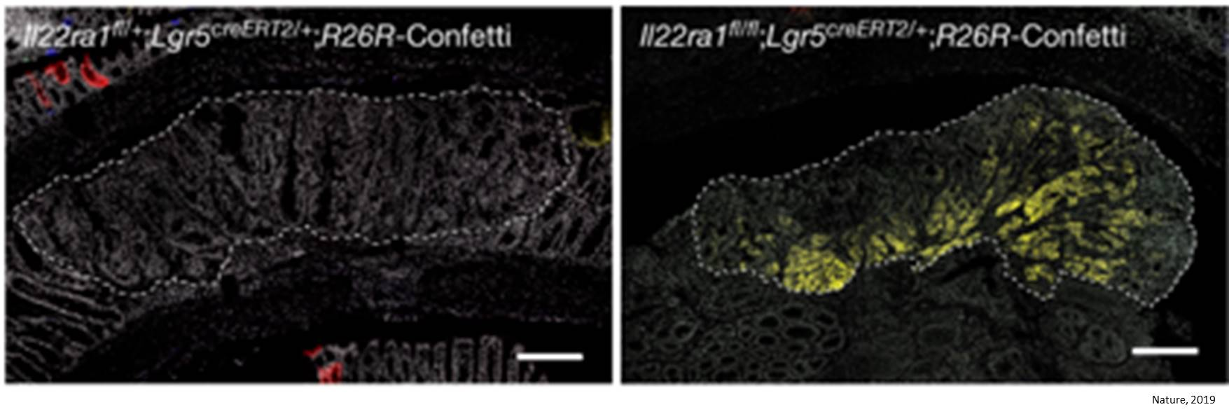 Interleukin-22 protects intestinal stem cells against genotoxic stress