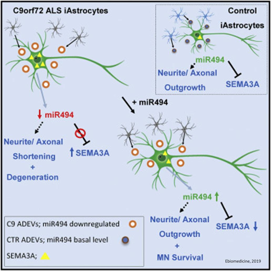 Extracellular vesicle delivered microRNAs play a critical role in ALS