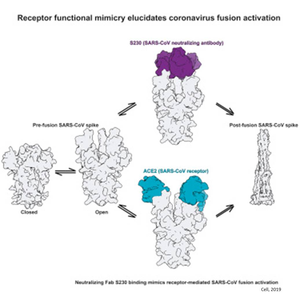 Elucidation of Coronavirus Inhibition Mechanism Using Neutralizing Antibody