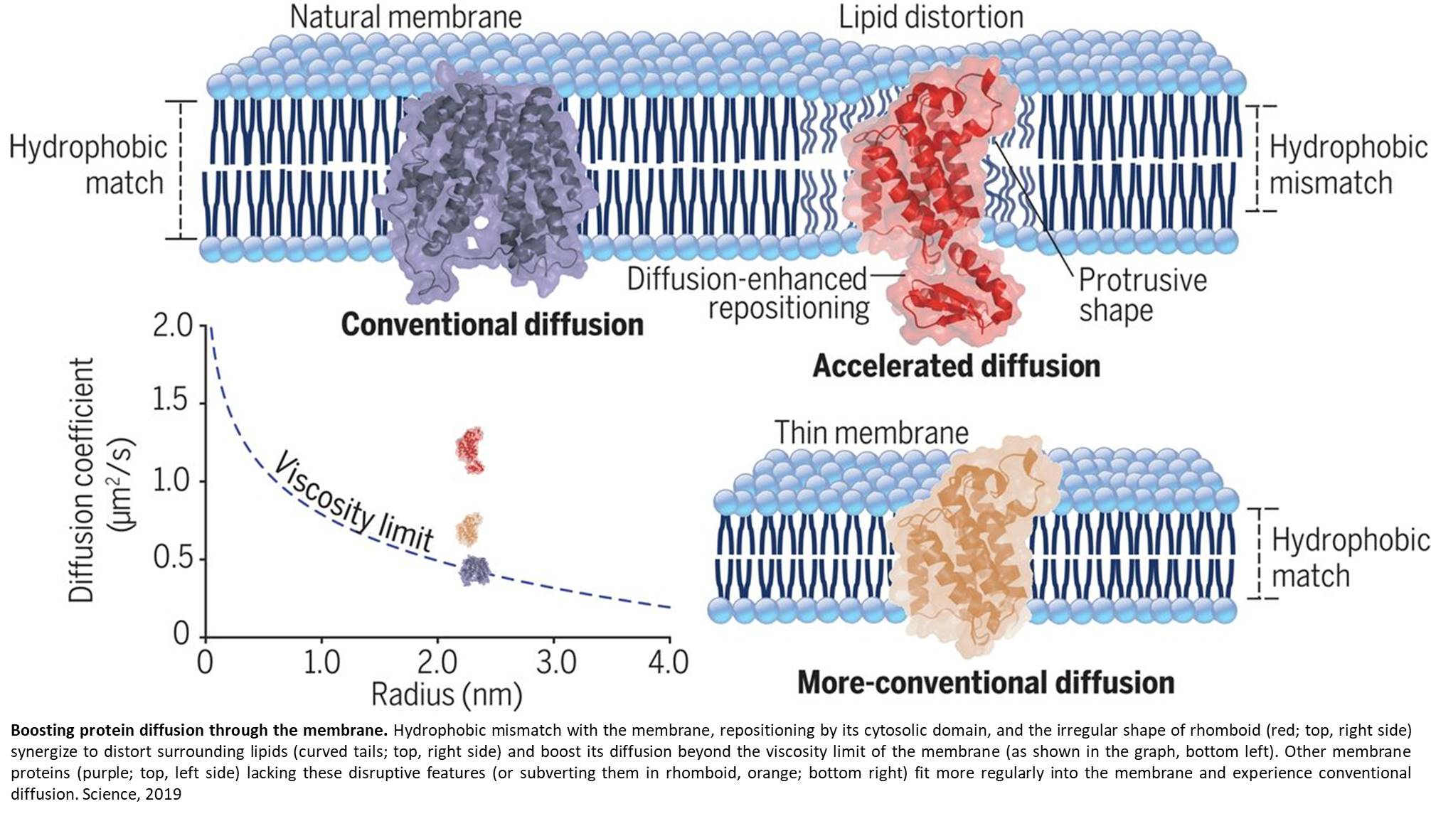 Rhomboid enzyme moves much faster than expected inside the membrane!