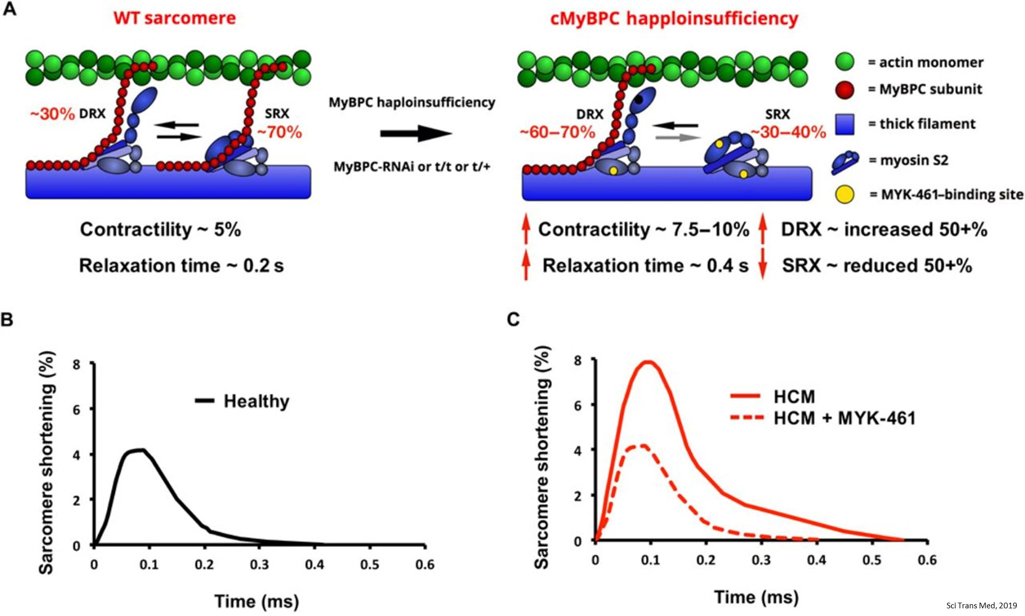 Hypertrophic cardiomyopathy mutations in MYBPC3 dysregulate myosin