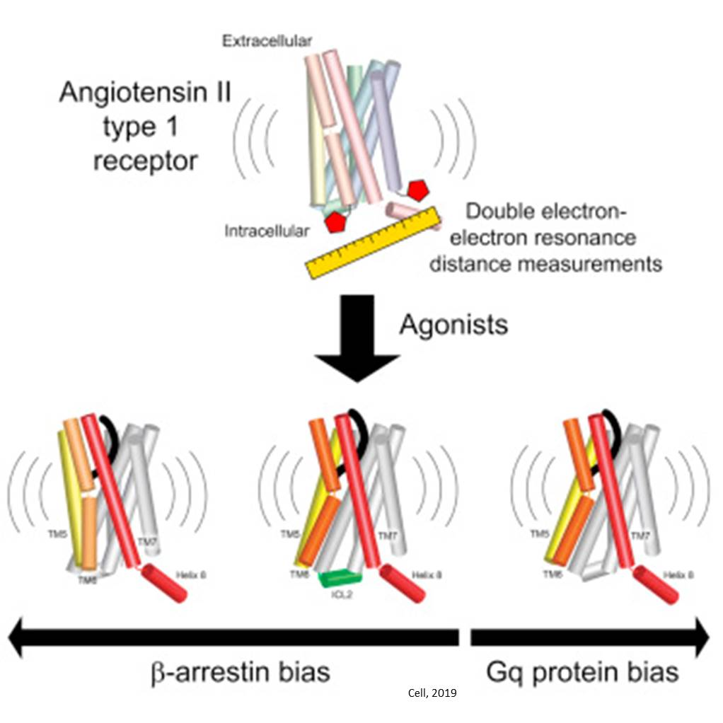 Distinct angiotensin receptor conformations with divergent agonist binding