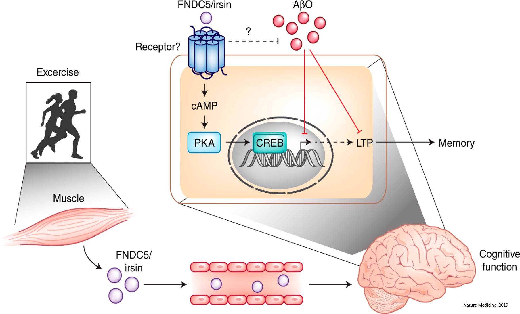An exercise-induced messenger protects against Alzheimer's disease