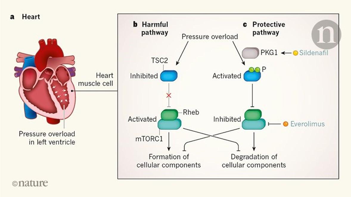 A new regulator of heart stress identified!