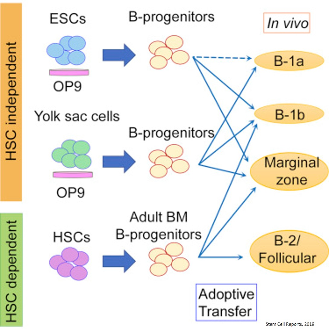 Functional, antibody producing, transplantable B1 cells from mouse embryonic stem cells