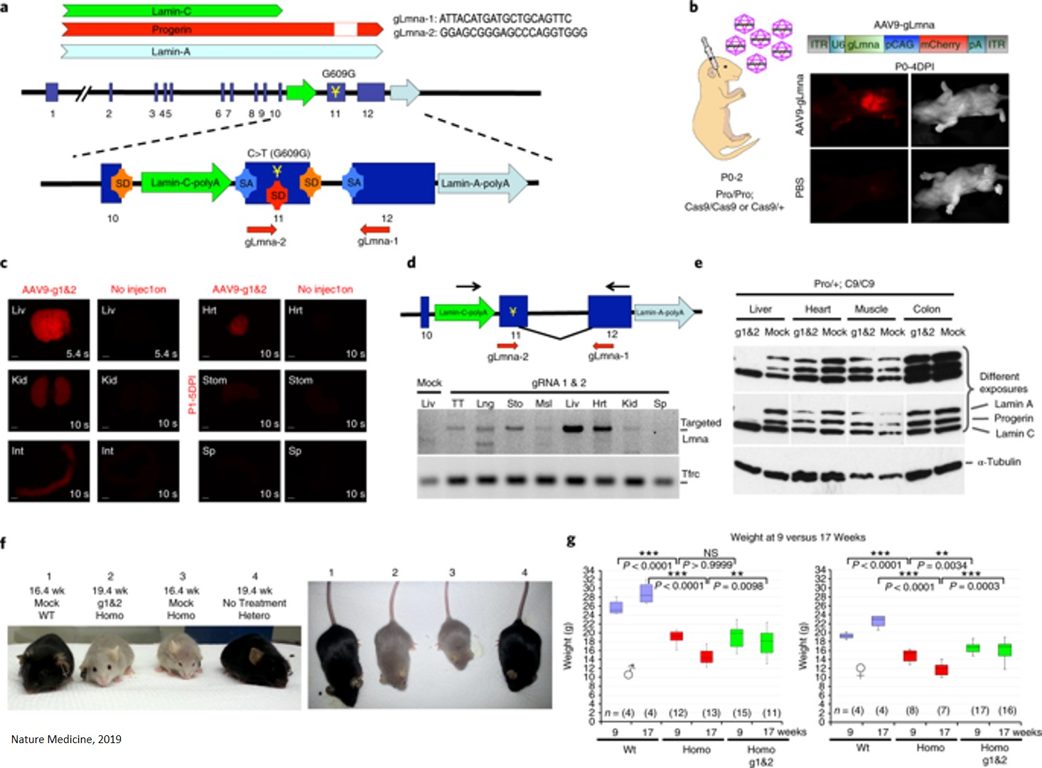 Extending lifespan of mice with CRISPR-CAS9 gene therapy