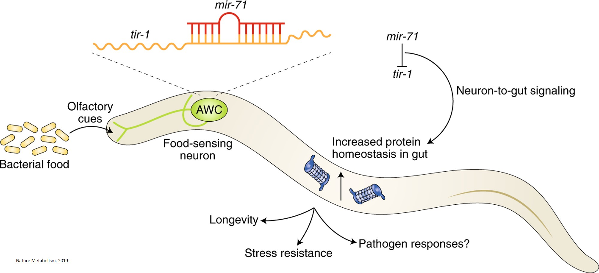 The food smell regulates protein quality control and aging via microRNAs