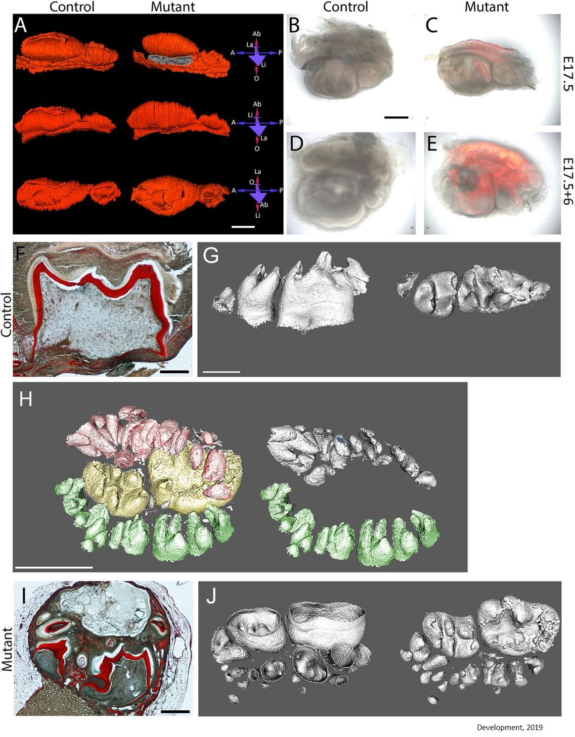 Activating tooth regeneration in mice