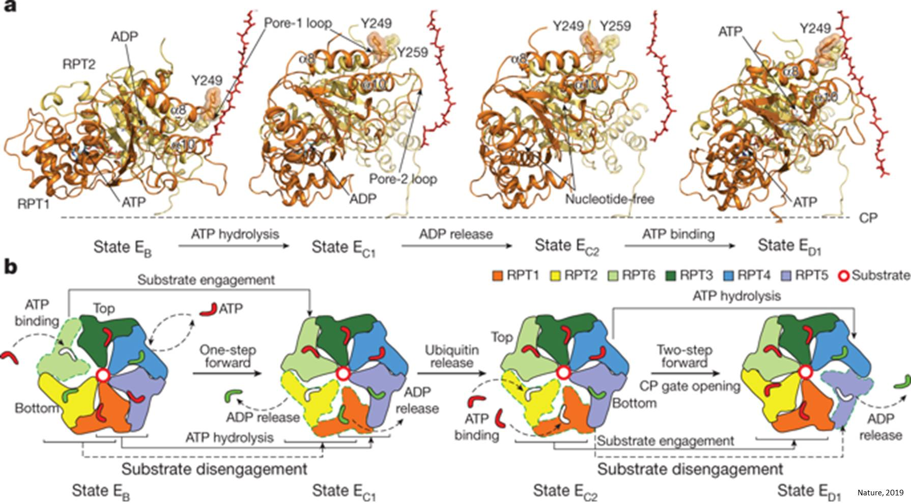 Dynamics of proteasome complex unraveled!