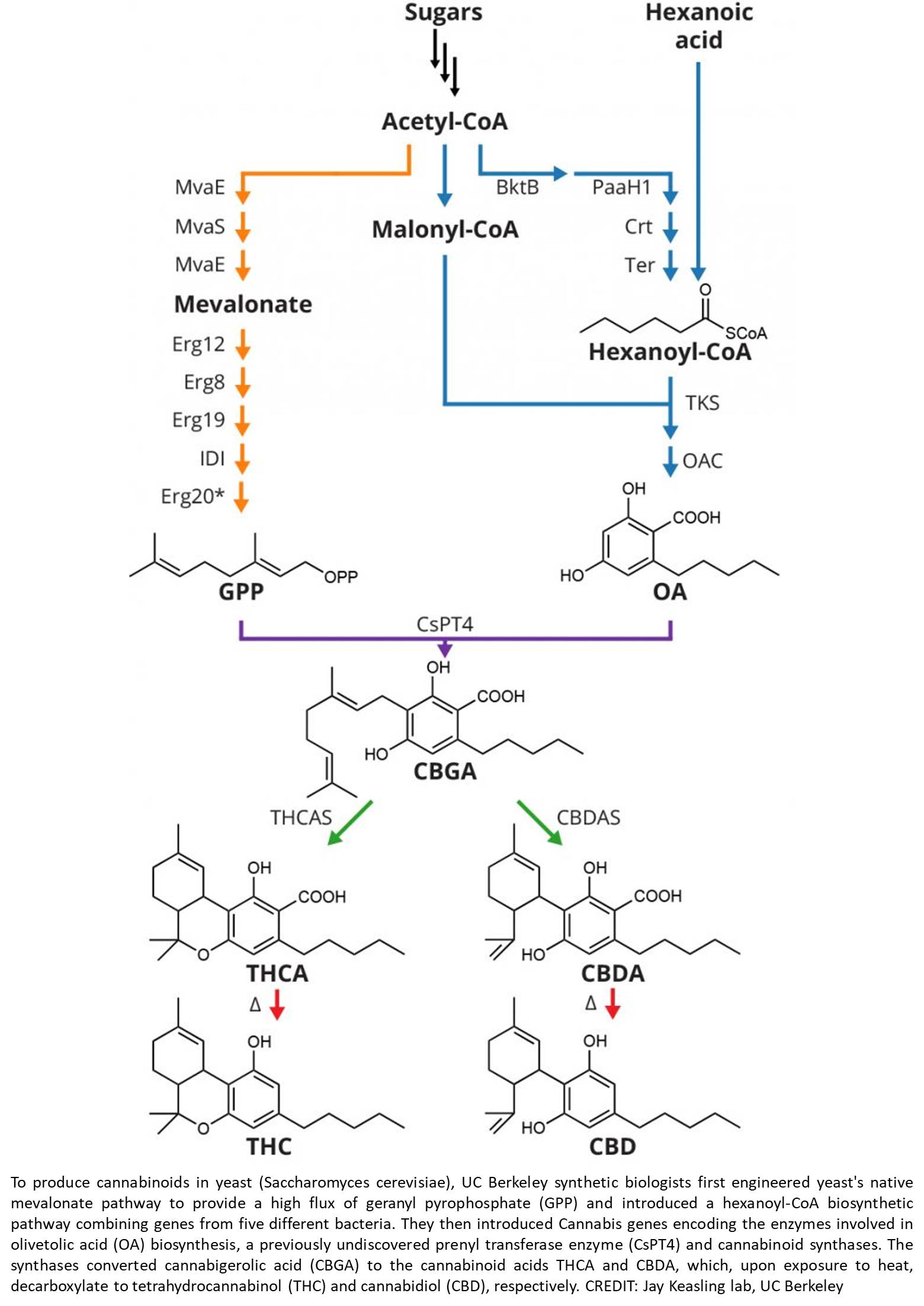 Complete biosynthesis of cannabinoids in yeast