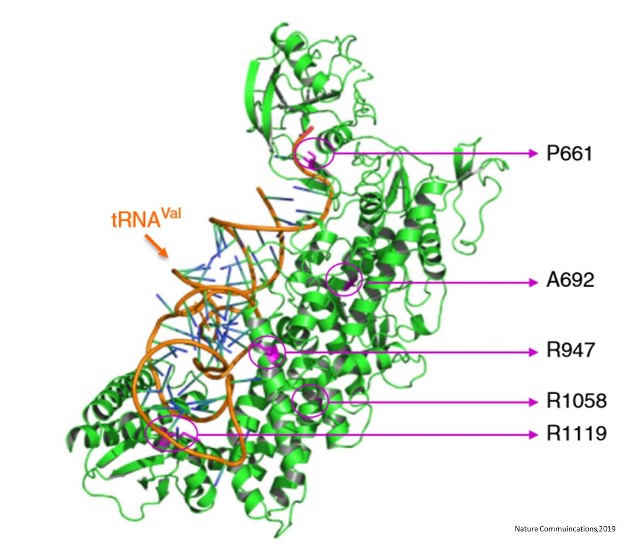 Valyl-tRNA synthetase gene VARS implicated in epileptic encephalopathy