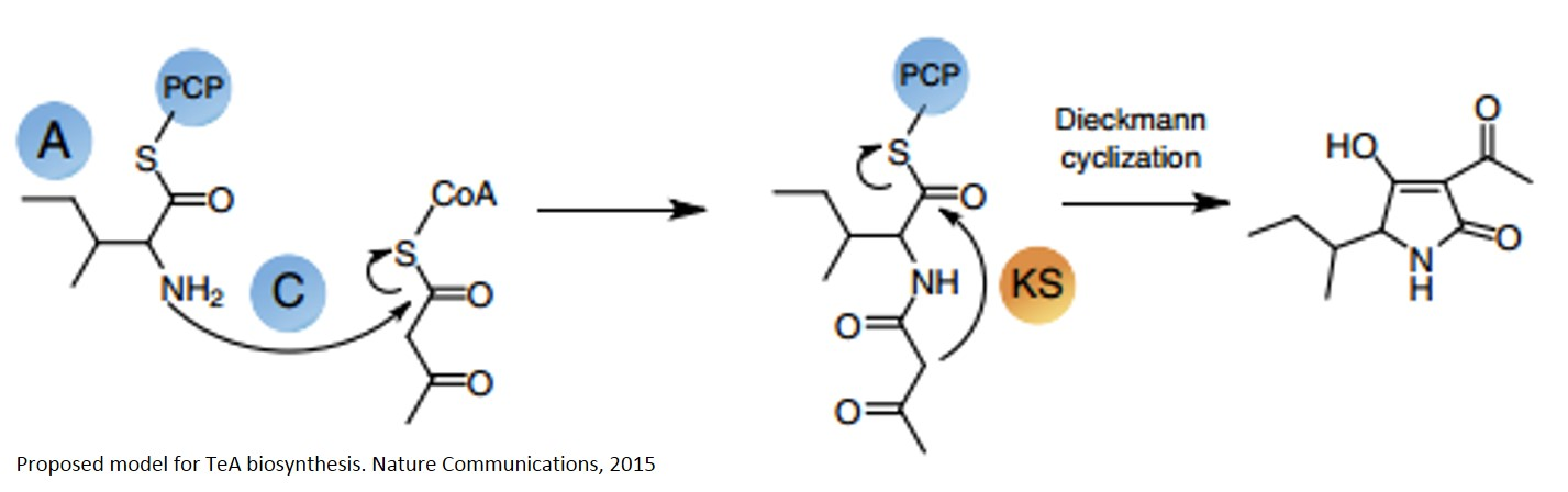 Biosynthesis of a rice-killing fungal toxin