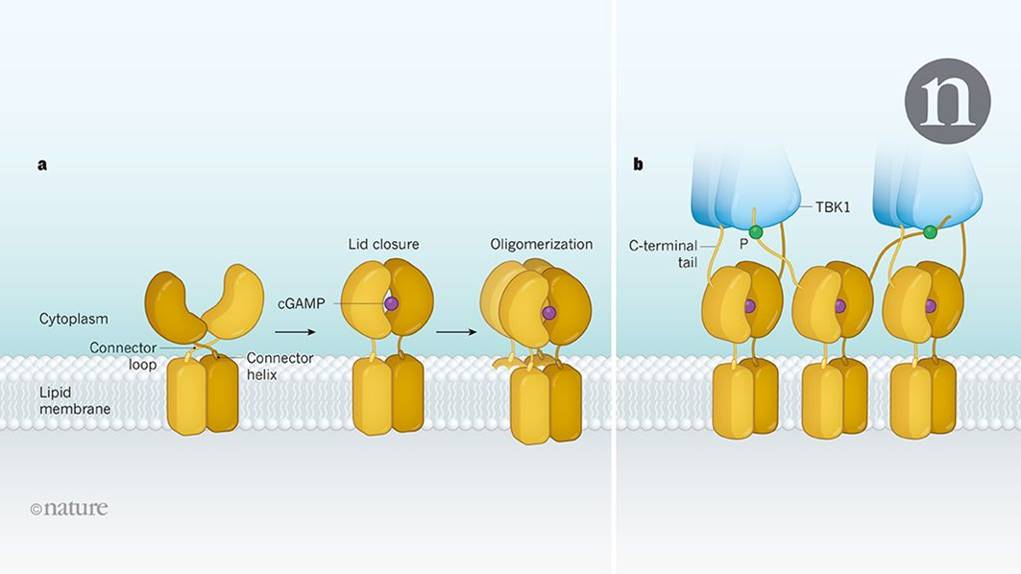 Structure of innate immunity protein STING unraveled!
