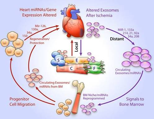 How the heart sends an SOS signal to bone marrow cells after a heart attack