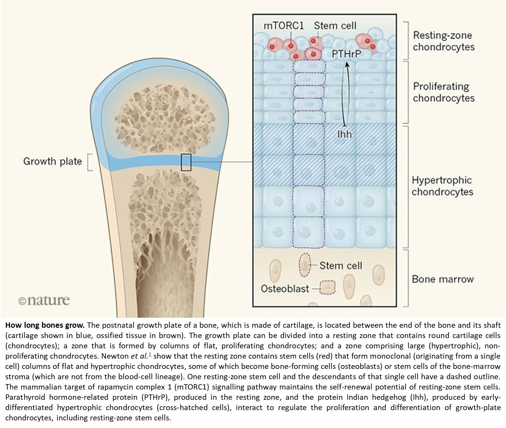 New mechanism for bone growth