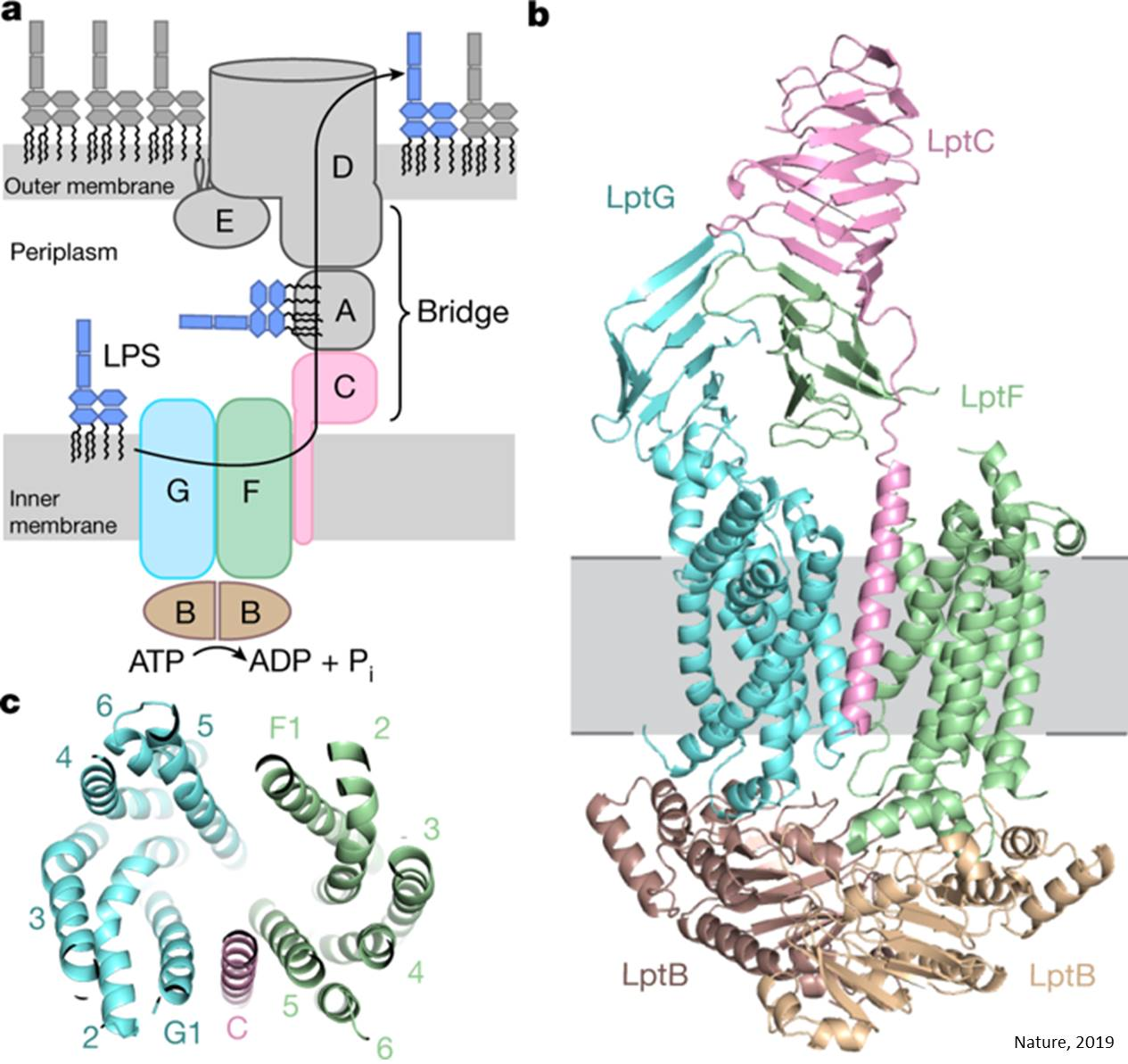 How the lipopolysaccharide (LPS) transported to the bacterial surface