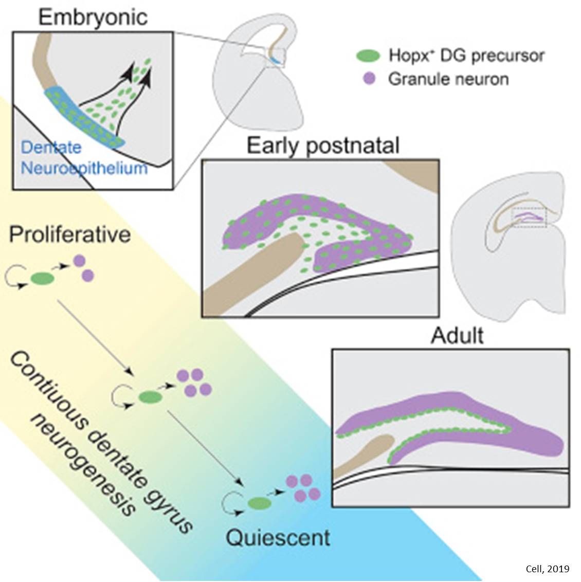 Neurogenesis throughout development and adulthood