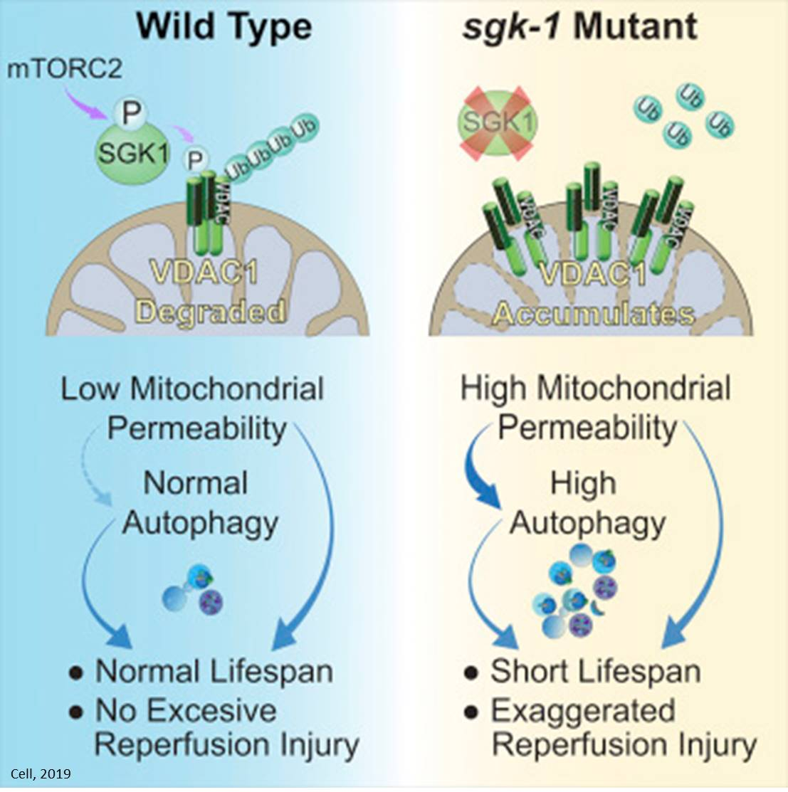 Role of mitochondrial permeability in aging, recovery from ischemic injury