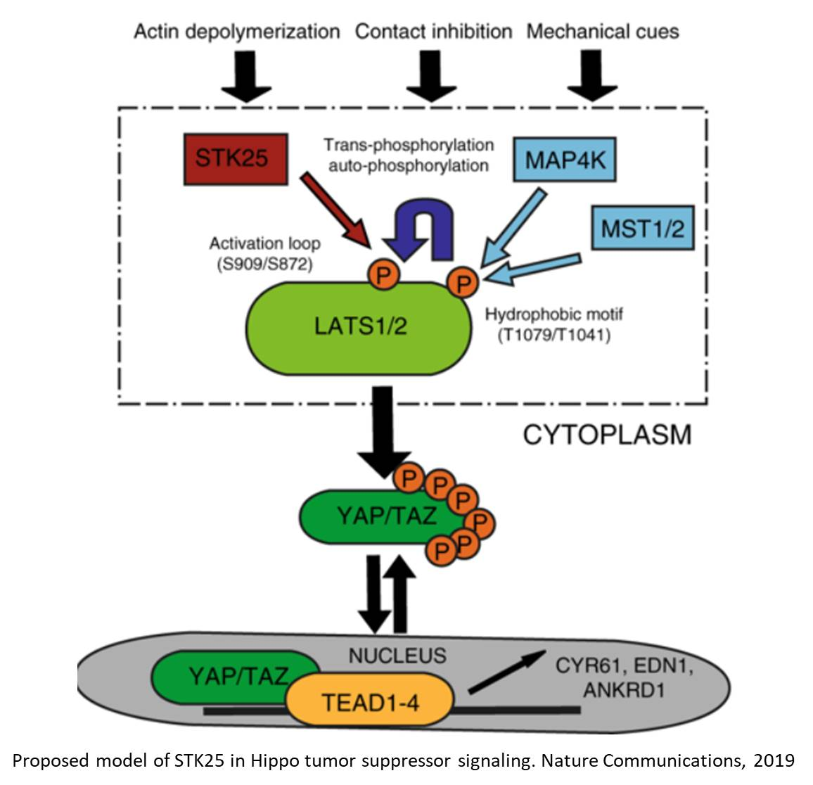How a major tumor suppressor pathway becomes deactivated