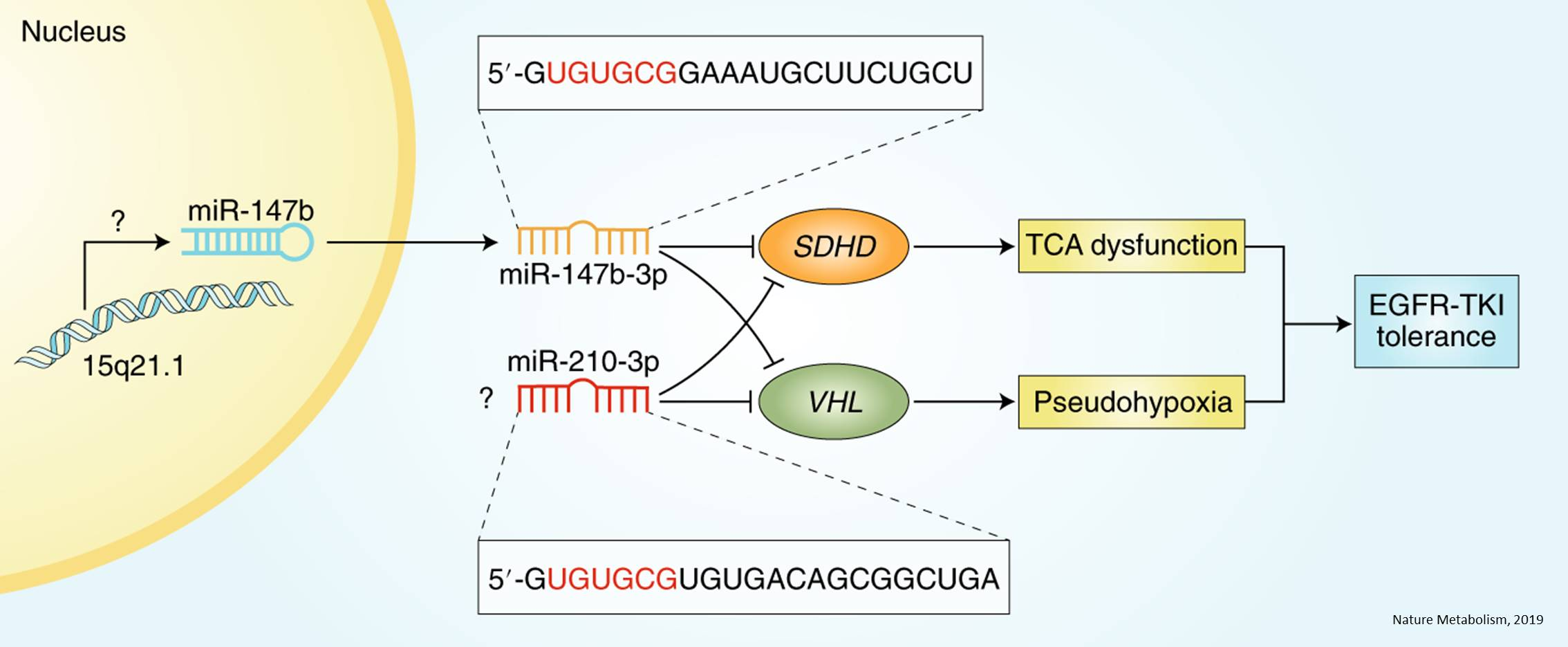Micro-RNA mediates drug tolerance in lung cancers