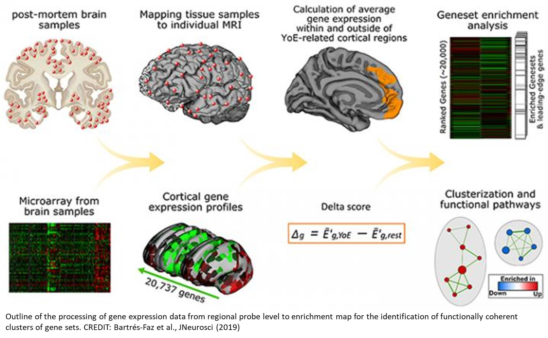 Genes and molecular pathways that keep the brain sharp in old age