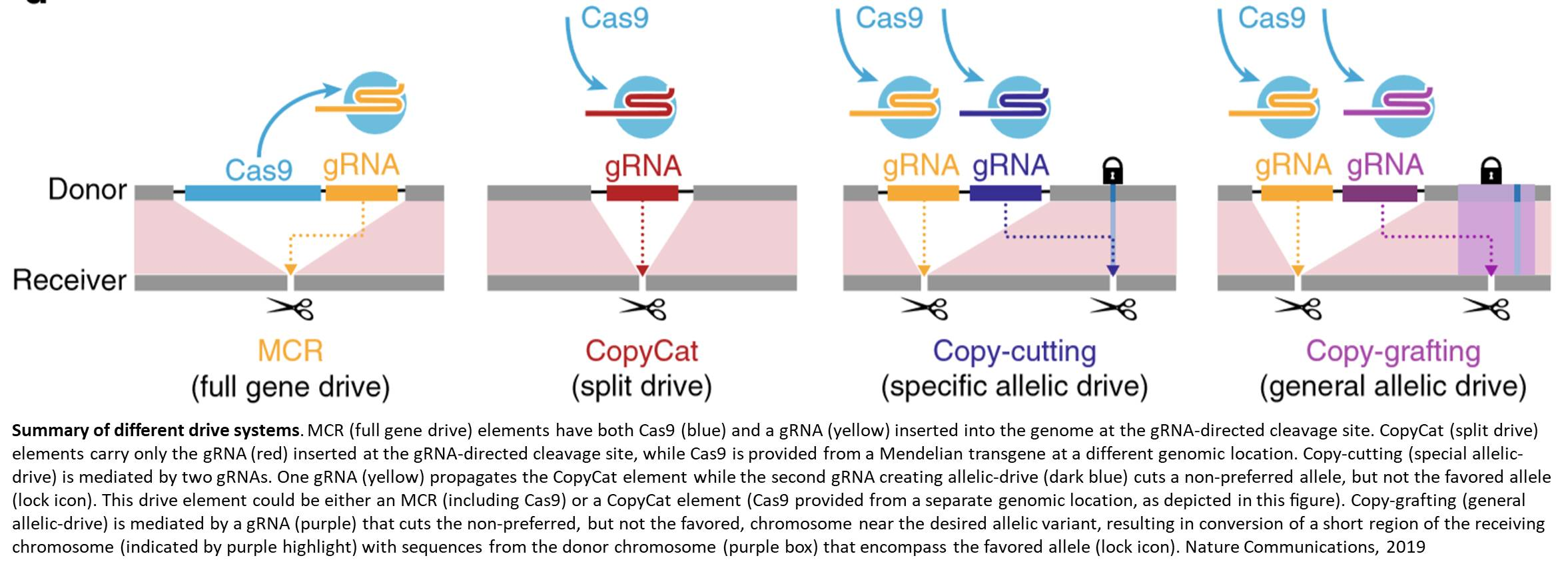 Precision genetic editing with CRISPR-based 'allelic drive'