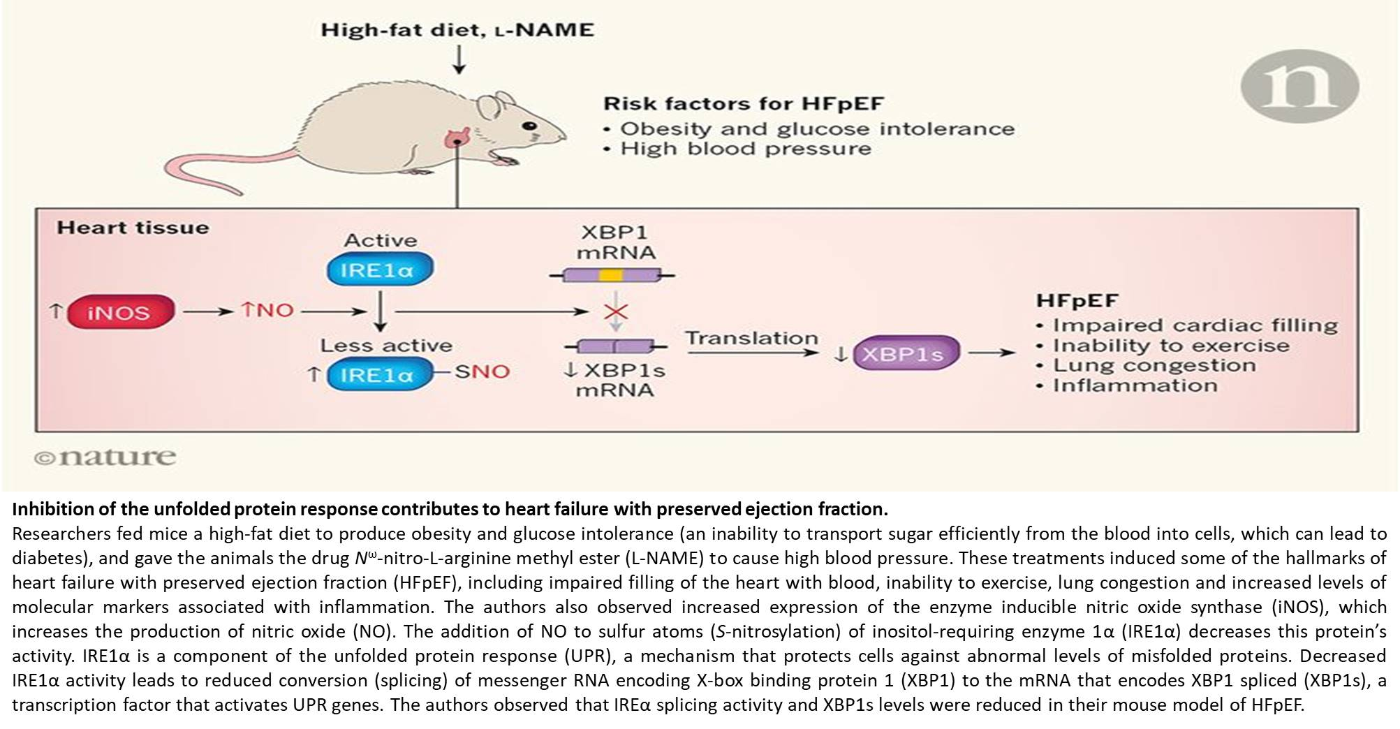 iNOS-driven dysregulation in heart failure!