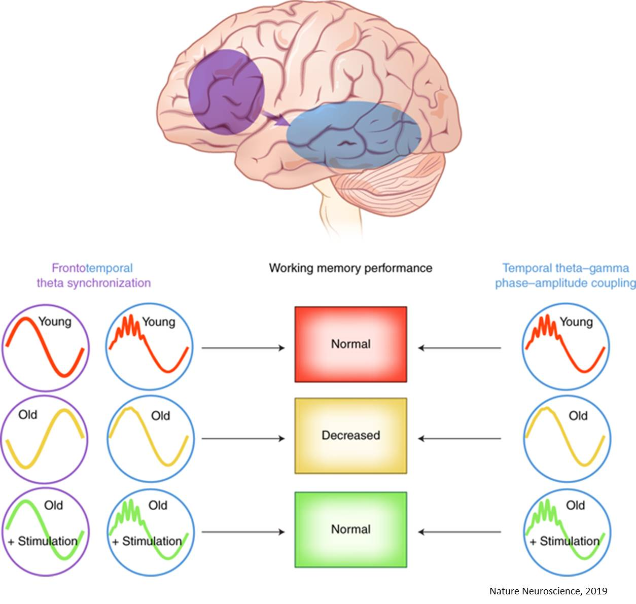 Electrostimulation synchronizes brain circuits to improve working memory