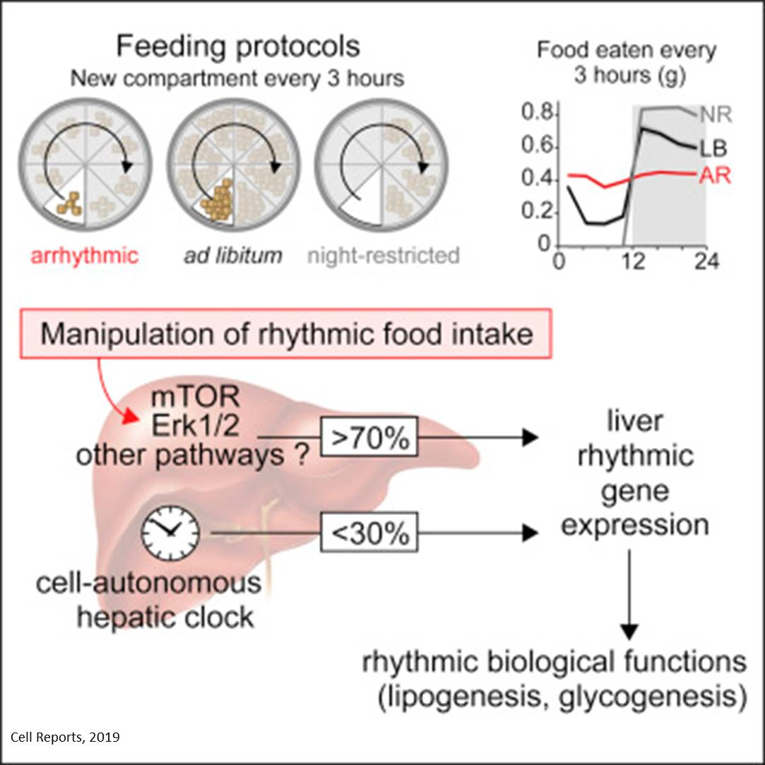 Rhythmic food intake drives rhythmic gene expression independent of circadian clock in liver