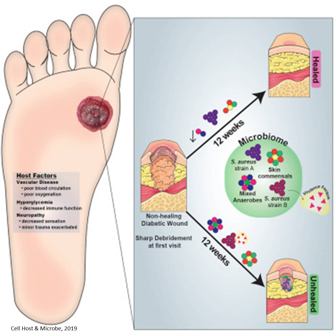Wound Healing Diagram - Wiring Diagrams ROCK