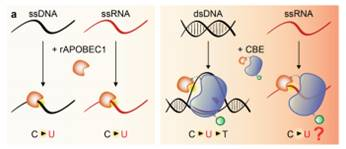Transcriptome-wide off-target RNA editing induced by CRISPR