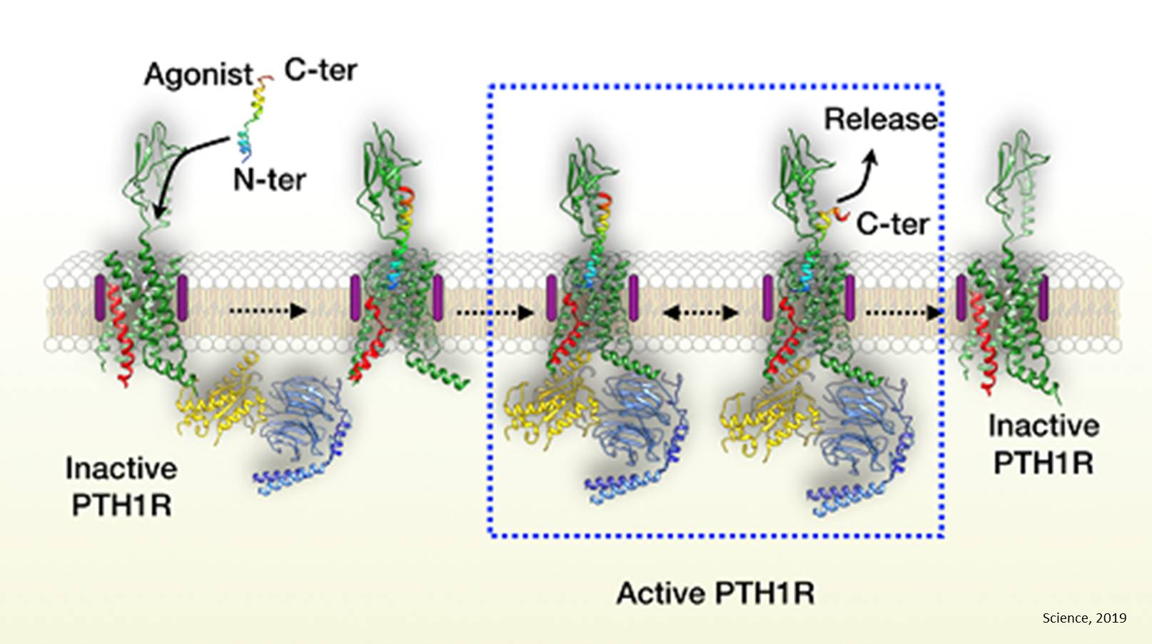 Atomic structure of the active human parathyroid hormone receptor-1