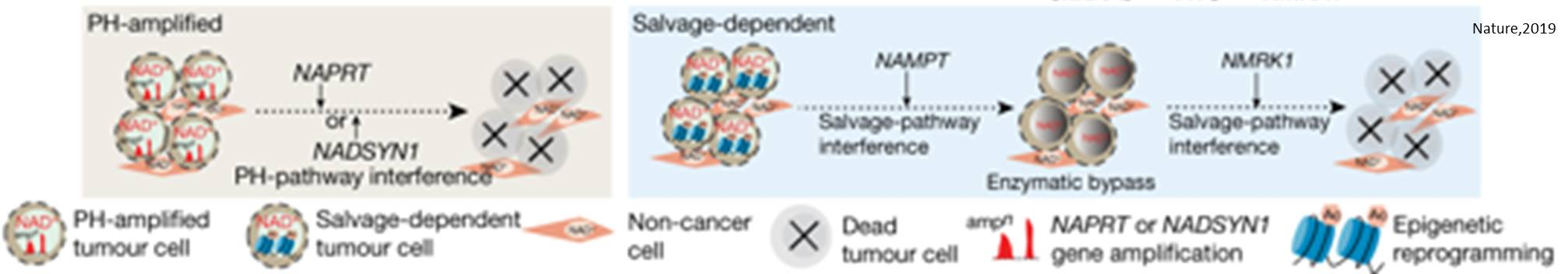 Tumor metabolic dependency may dictate cancer therapies