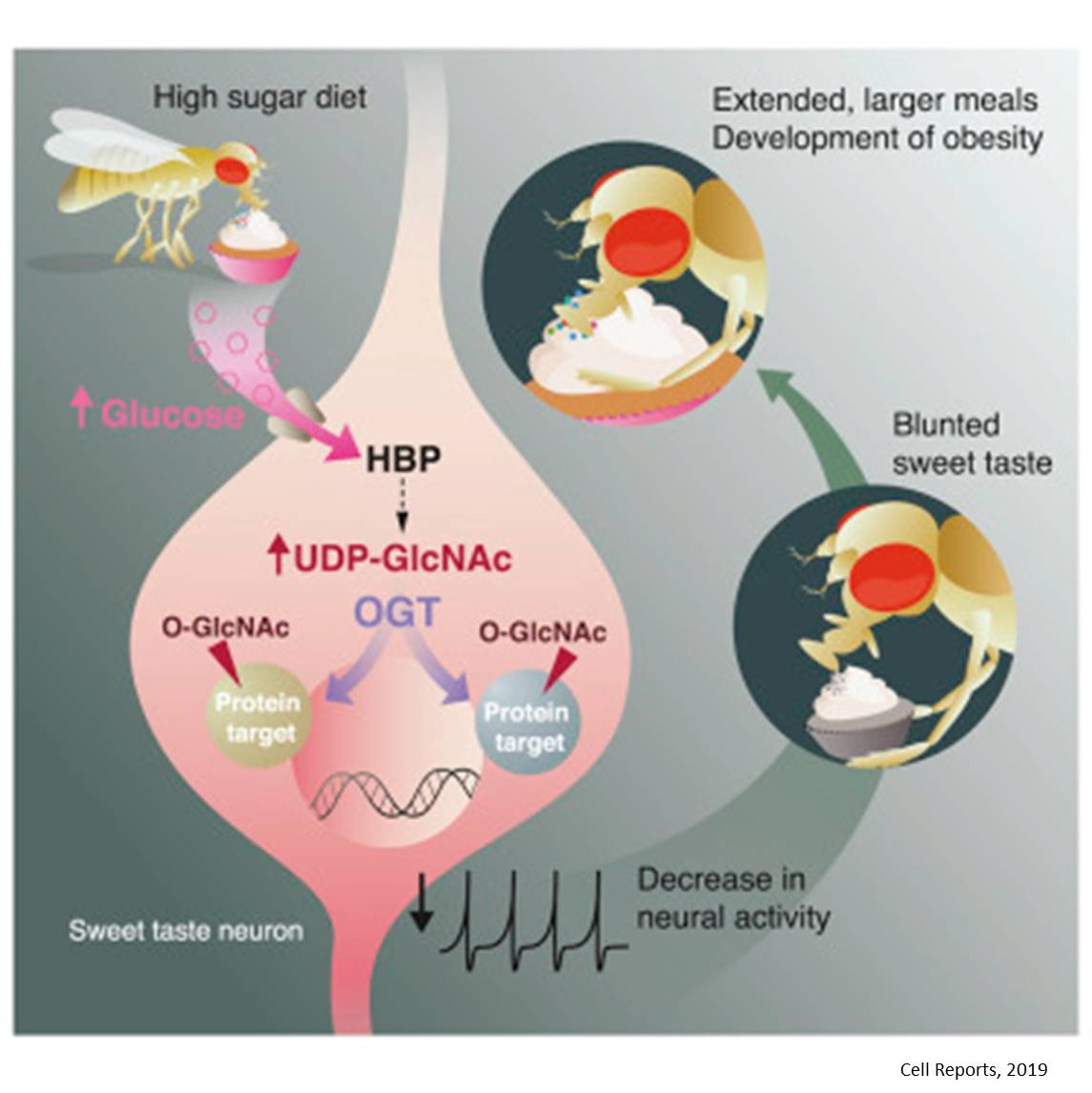 High-sugar diet reshapes sweet tooth; promotes overeating, obesity in flies