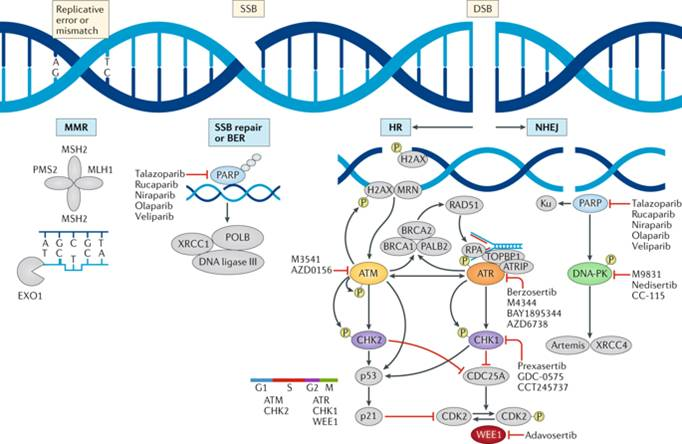 How cancer drug inhibits DNA repair in cancer cells