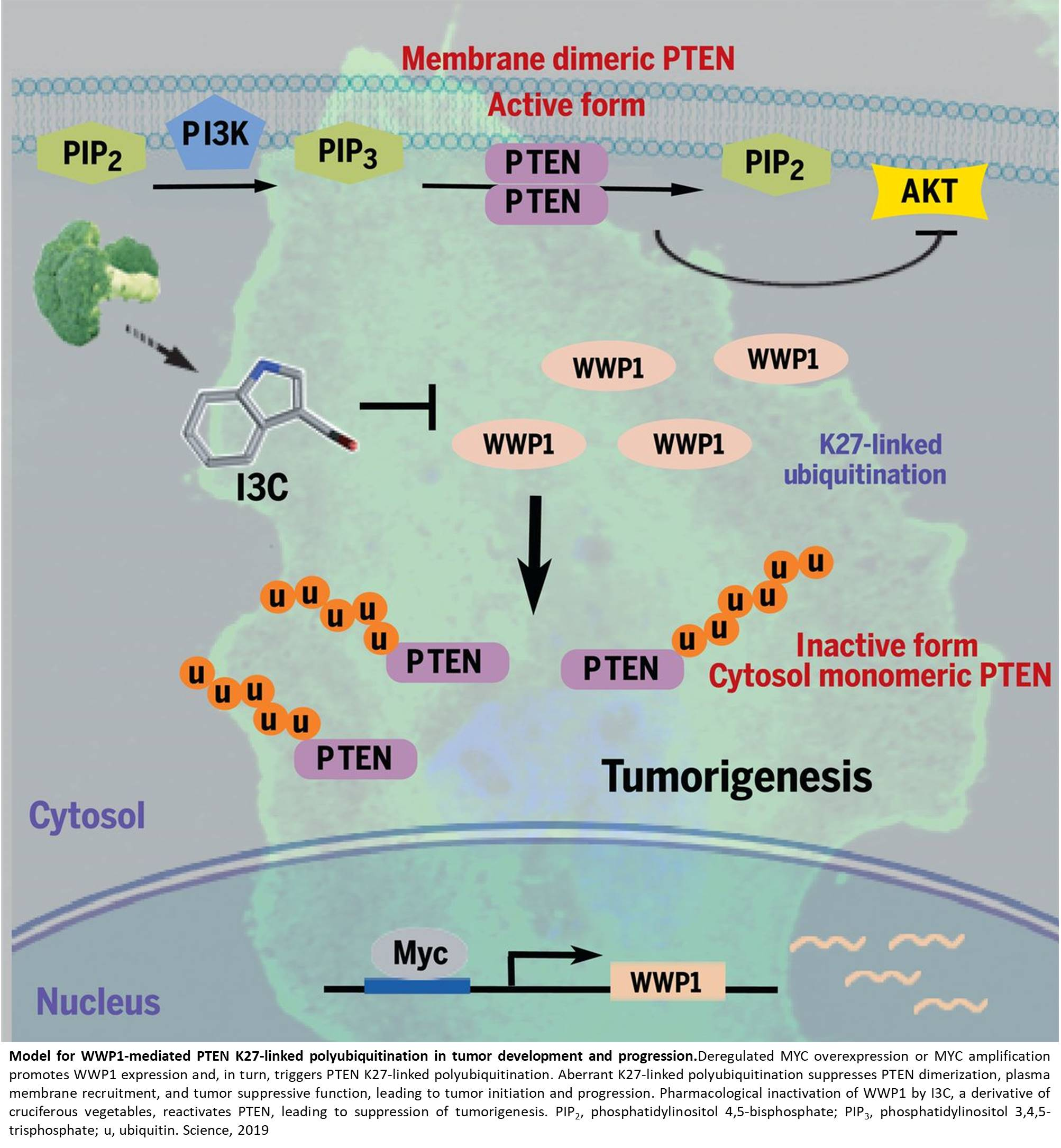 Broccoli compound prevents cancer growth by reactivating tumor suppressor