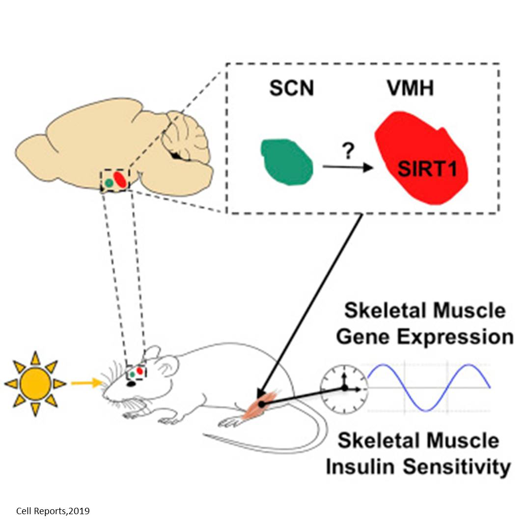 Insulin release influenced by day-night cycle via brain neurons