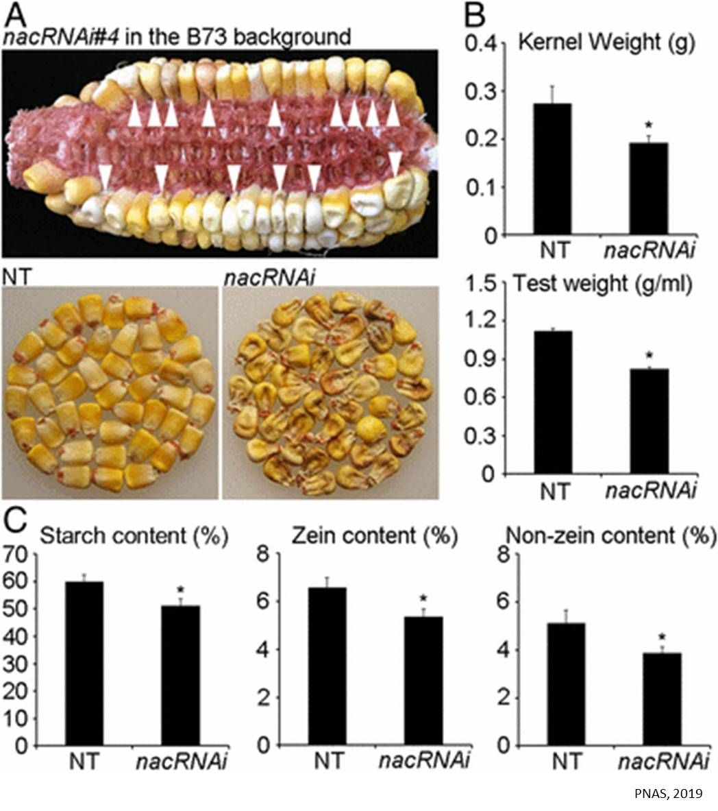 Transcription factors controlling the corn quality identified